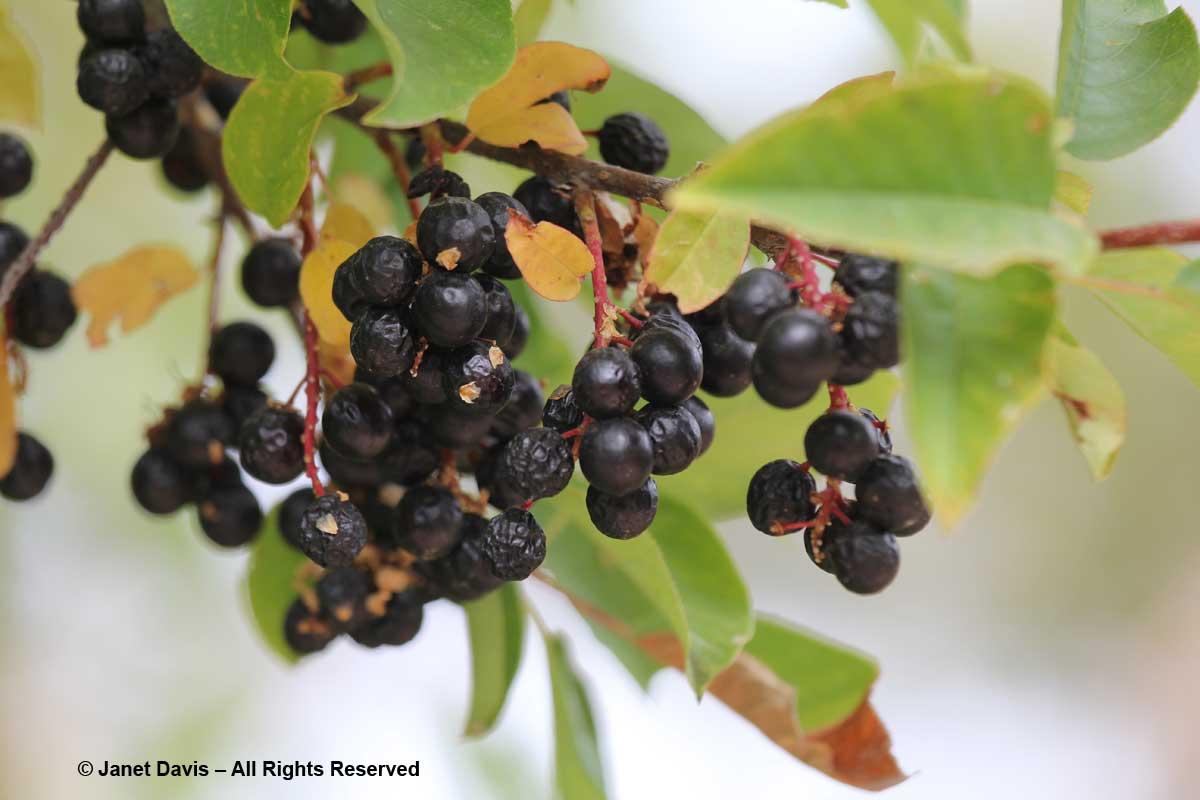 Prunus virginiana-Chokecherry-Lewis & Clark