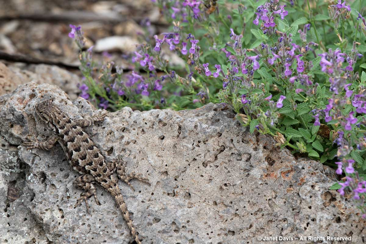 Sagebrush Lizard-Idaho Botanical Garden