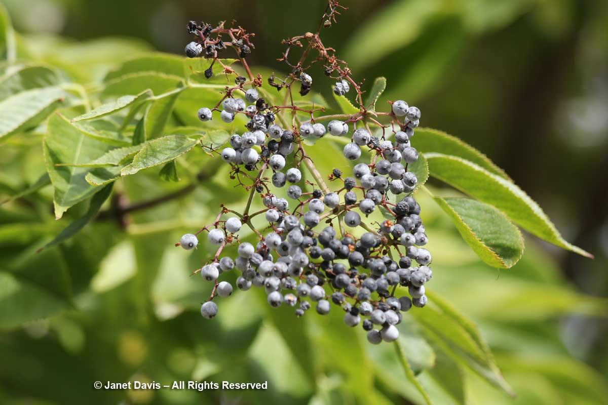 Sambucus nigra ssp. cerulea-Blue elderberry-Lewis & Clark