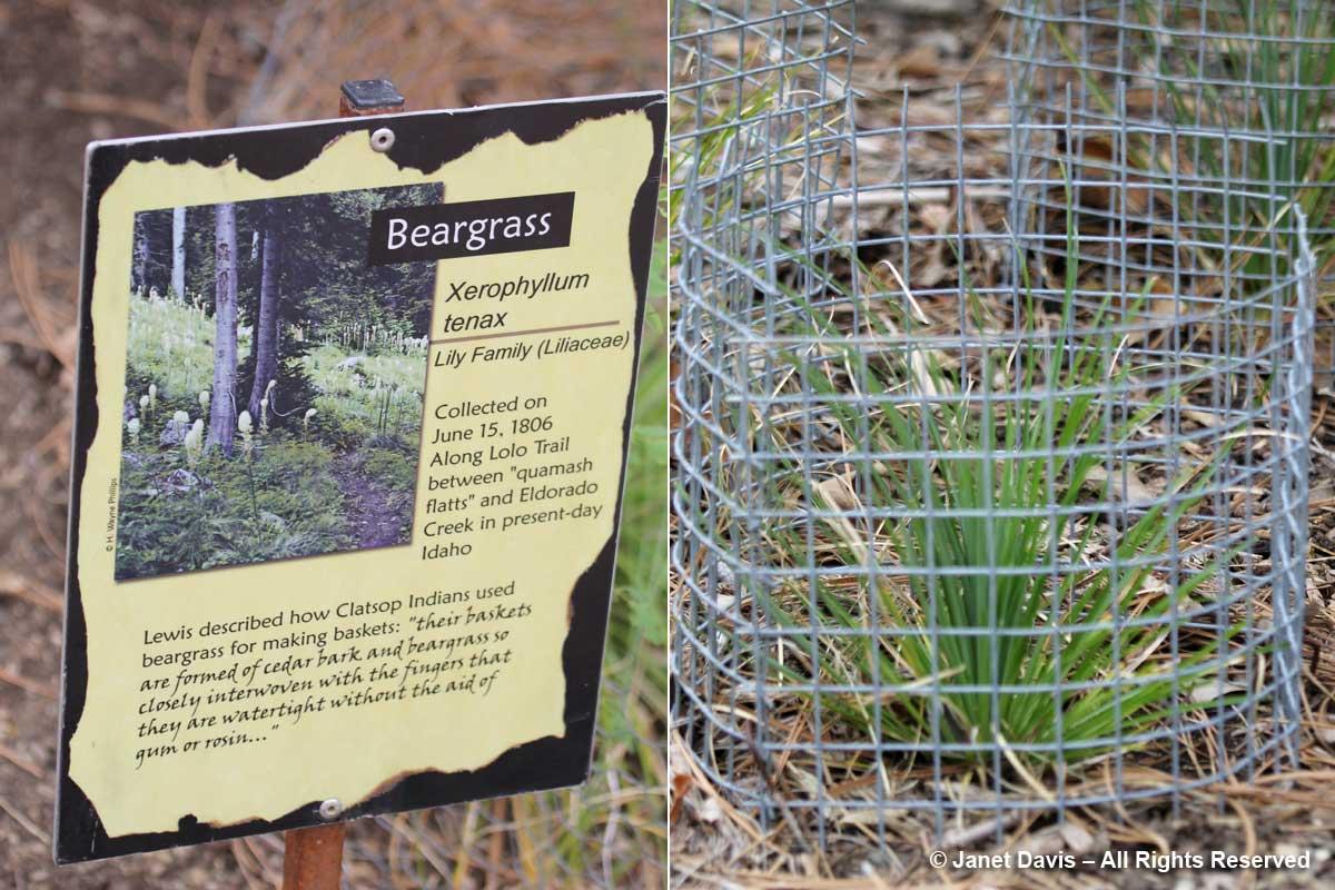 Xerophyllum tenax-beargrass-Lewis & Clark-Idaho Botanical
