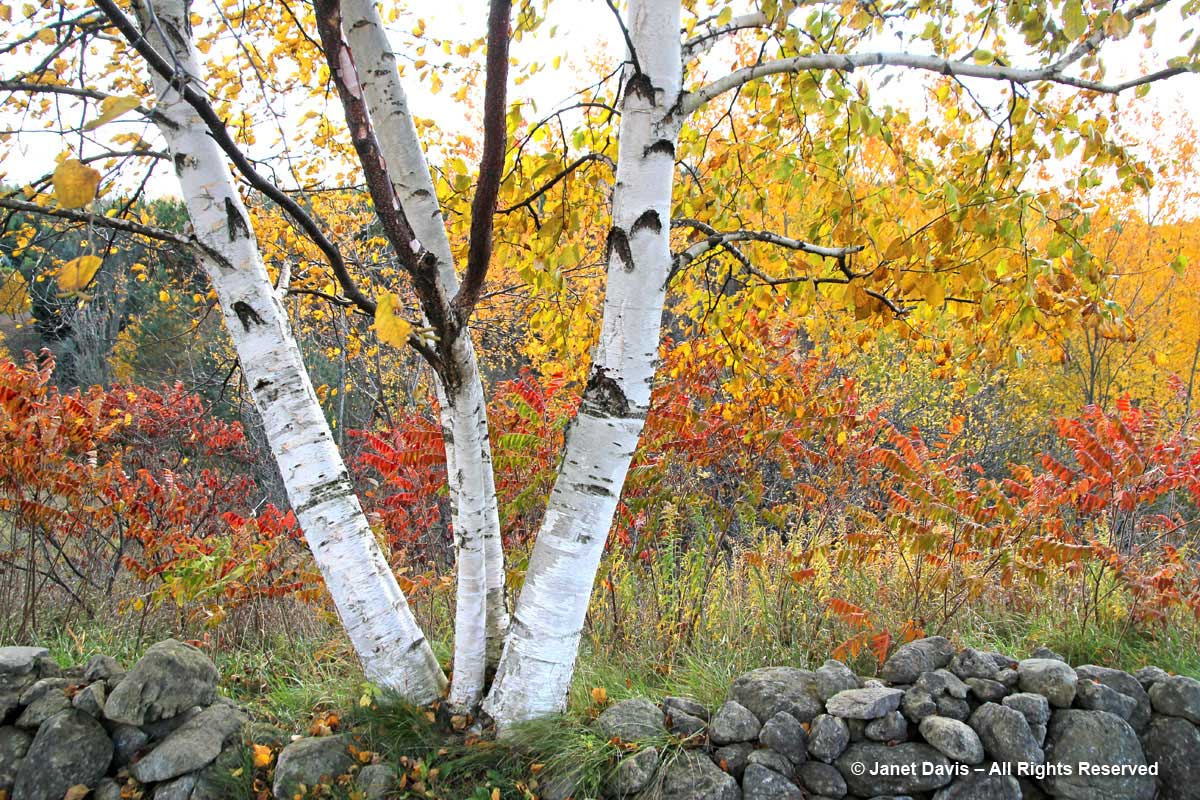2012-Paper Birch-Betula papyrifera-fall colour