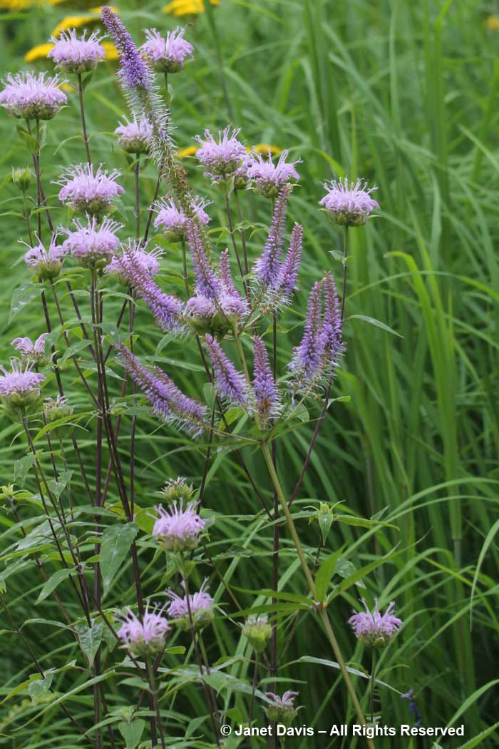 Flowers-Veronicastrum virginicum & Monarda fistulosa-summer