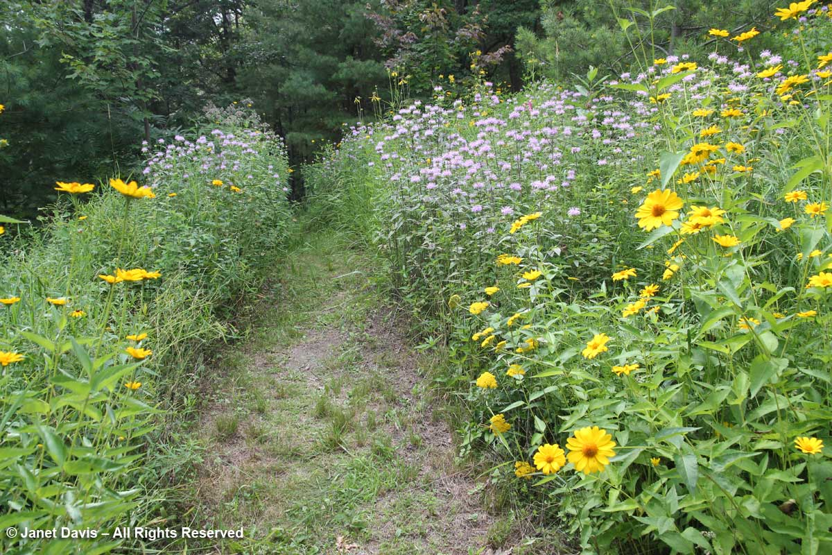 Path through meadow-Lake Muskoka-July15