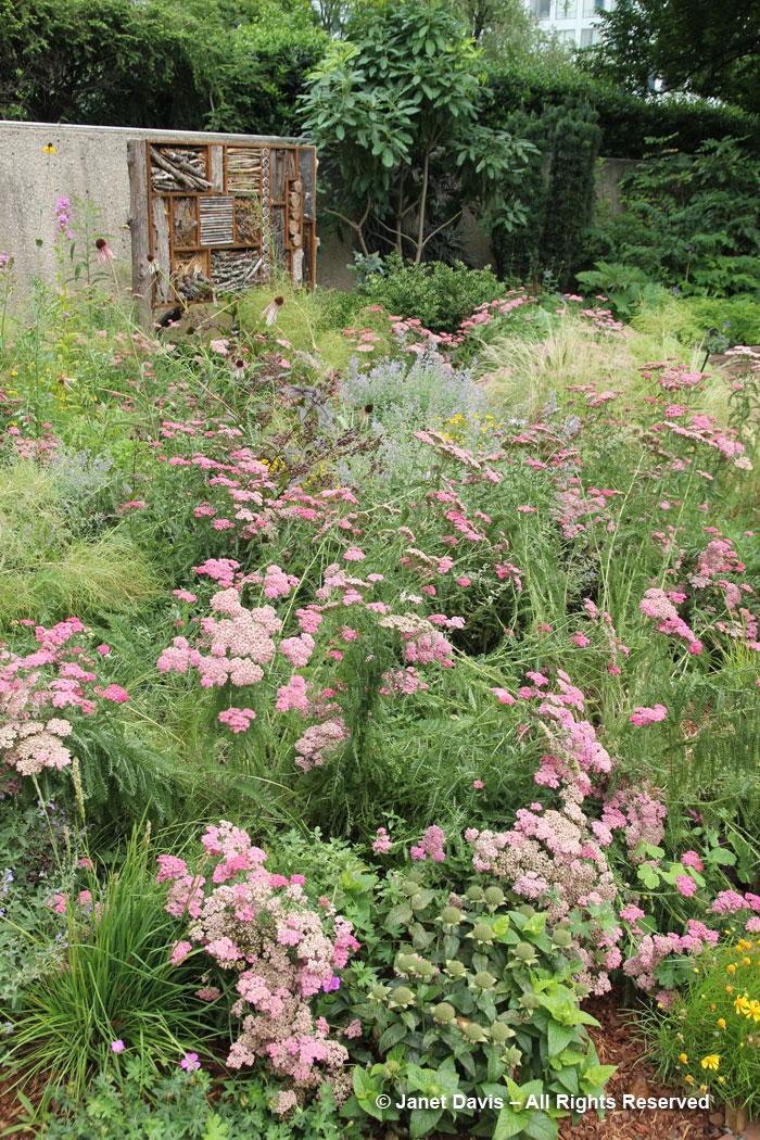 Achillea 'Oertel's Rose'-Ripley Garden