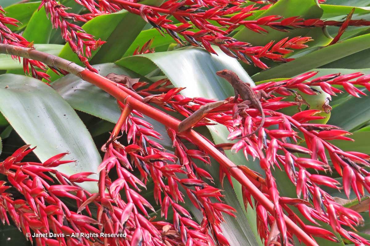 Aechmea & Anolis sagrei-red-Marie Selby Botanical Gardens