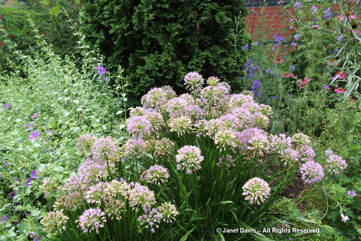 Allium 'Millenium'-Ripley Garden