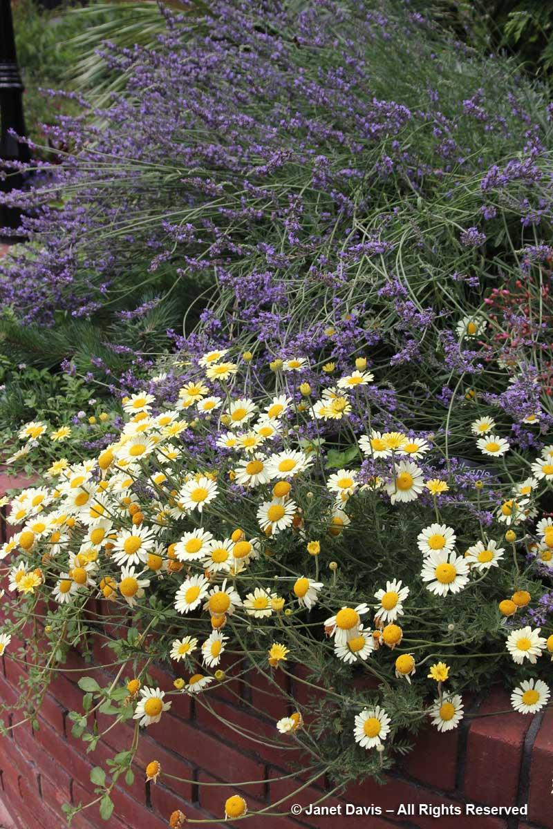 Anthemis 'Susanna Mitchell' & Lavender-Ripley Garden