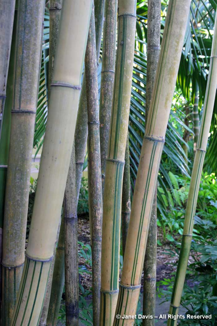 Bamboo Pavilion-Bambusa emeiensis 'Flavidorivens'-Marie Selby Botanical Garden