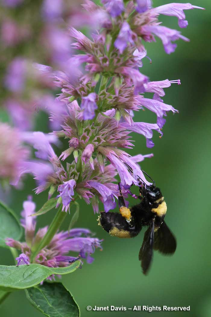 Bombus auricomus-Black and Gold bumblebee on Agastache