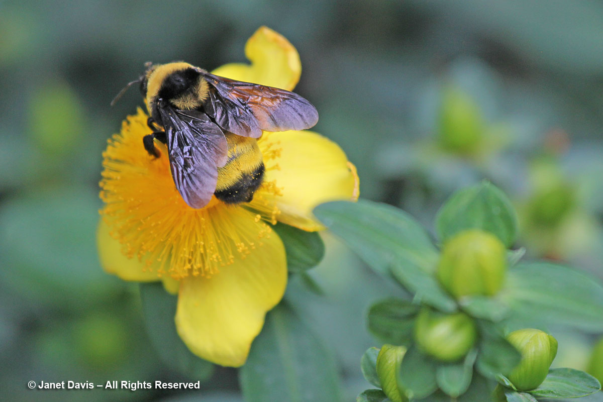 Bombus auricomus-Black and Gold bumblebee- on Hypericum frondosum