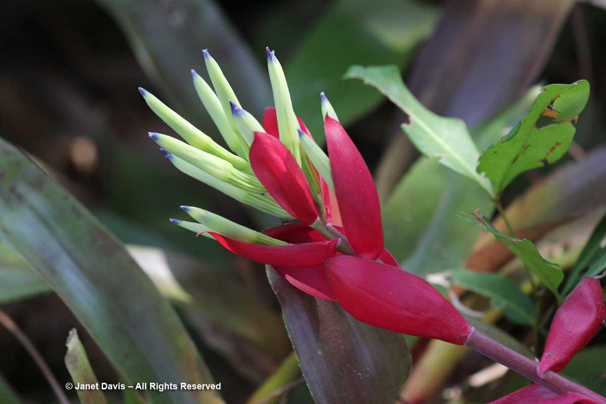 Bromeliads-Billbergia amoena-Marie Selby Botanical Gardens