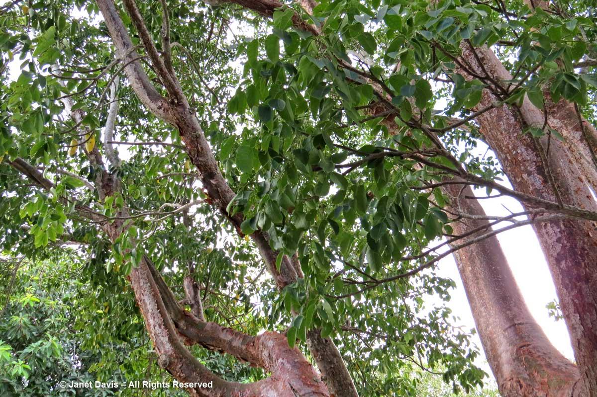 Bursera simaruba-Gumbo limbo-Marie Selby Botanical Gardens
