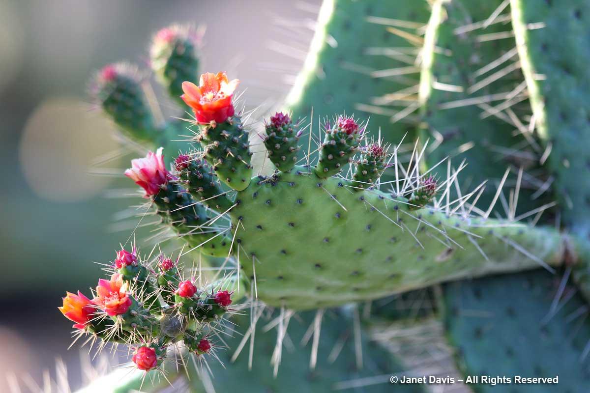 Cacti & Succulent Garden-Consolea corallicola-Marie Selby Botanical Gardens