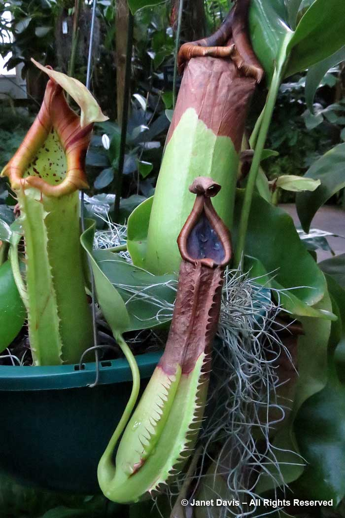 Conservatory-Nepenthes truncata-Marie Selby Botanical Garden