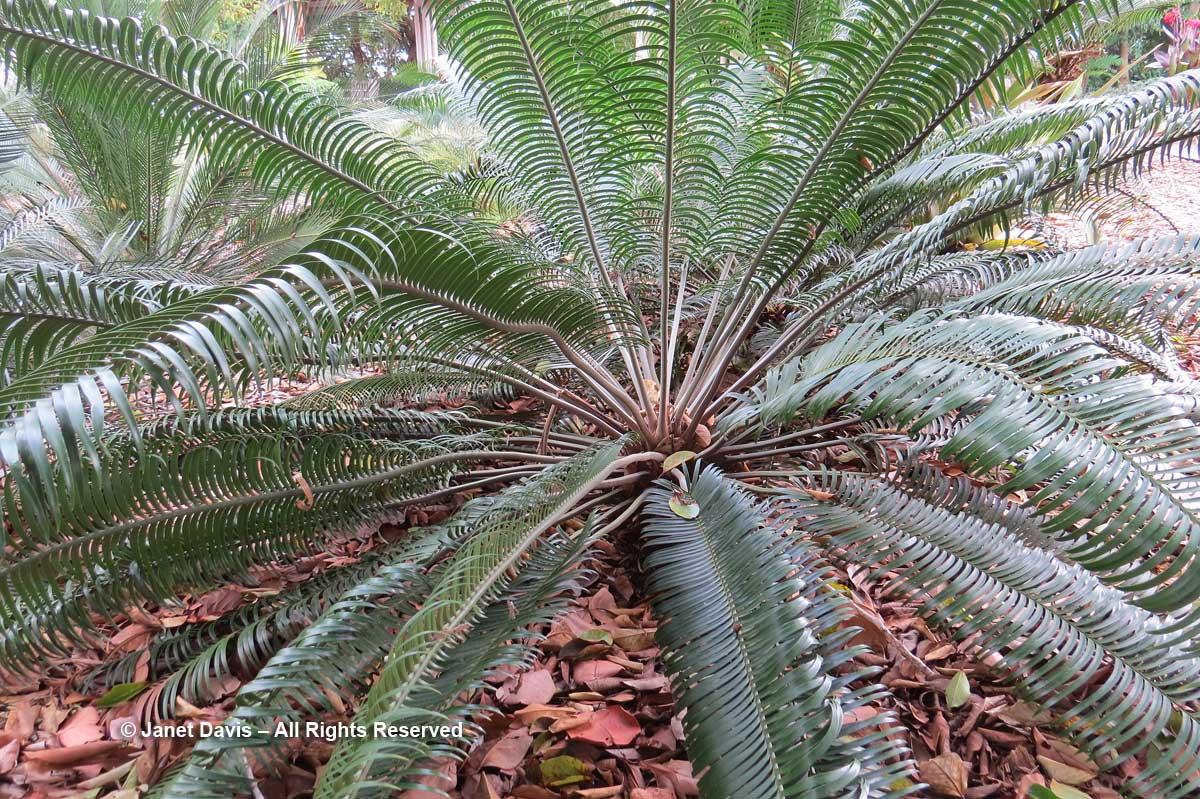 Cycads-Lepidozamia peroffskyana-Marie Selby Botanical Garden
