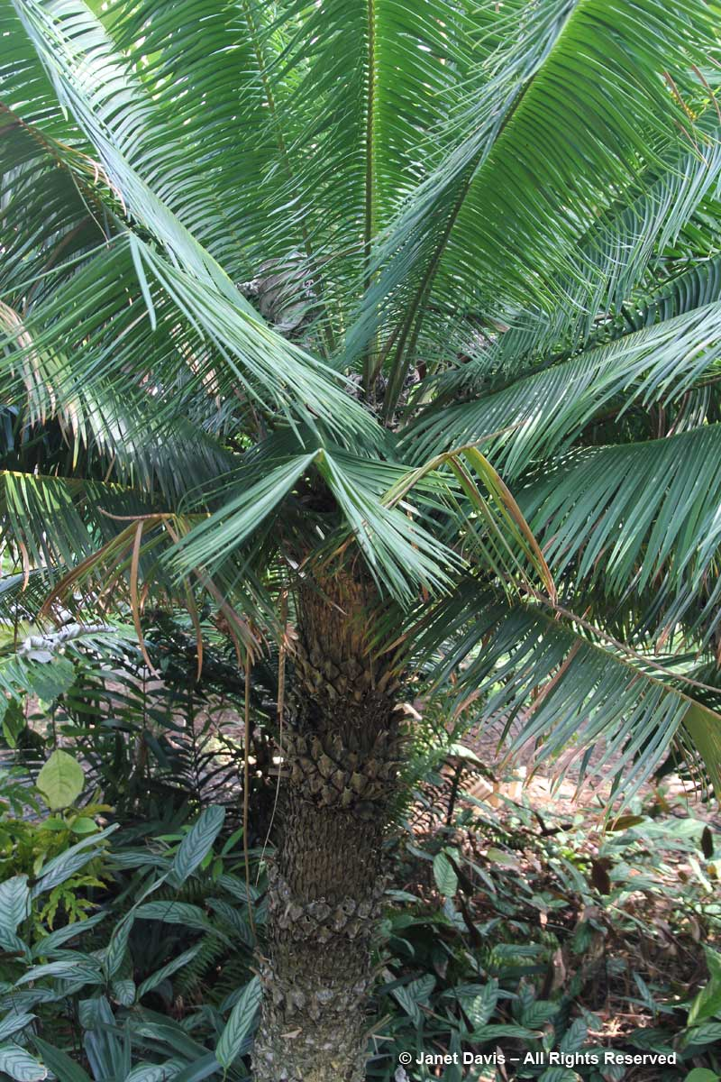 Cycads-Microcycas calocoma-Marie Selby Botanical Gardens