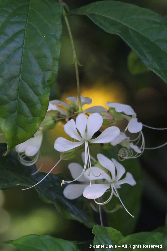 Fern Garden-Clerodendrum wallichii-Marie Selby Botanical Garden