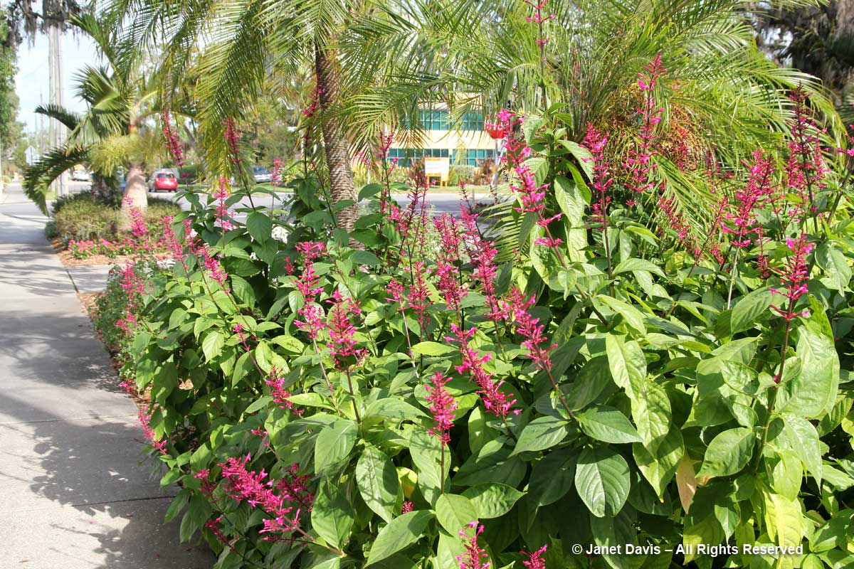 Flower Walk-Odontonema-Marie Selby Botanical Gardens