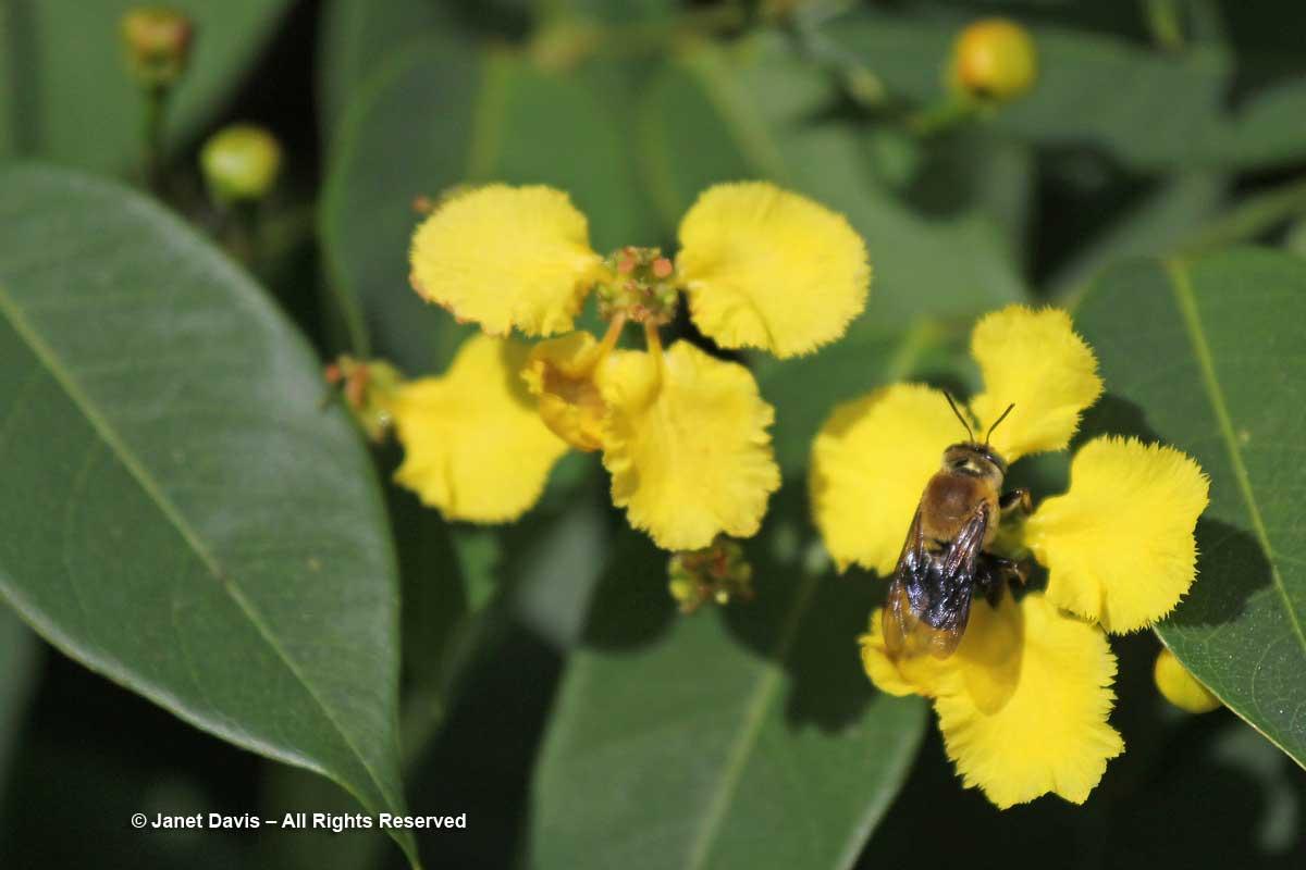 Flower Walk-Stigmaphyllon ciliatum-Marie Selby Botanical Gardens