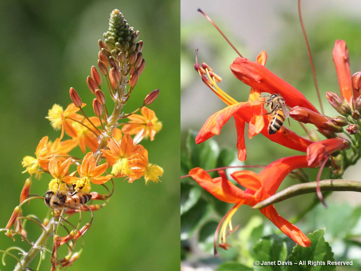 Flower walk-Honey bees-Bulbine frutescens & Tecomaria capensis