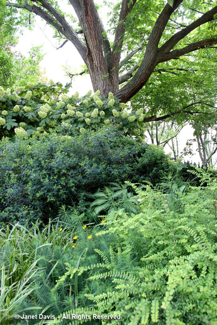 Hydrangea quercifolia 'Alice'-Ripley Garden