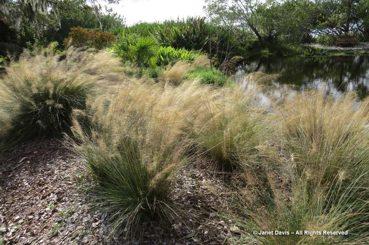Muhlenbergia capillaris-Gulf muhly-Marie Selby Botanical Gardens