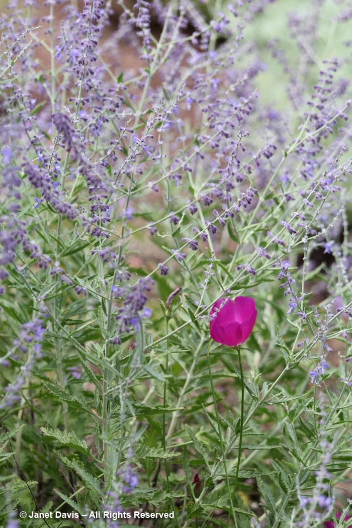 Perovskia & Callirhoe-Ripley Garden
