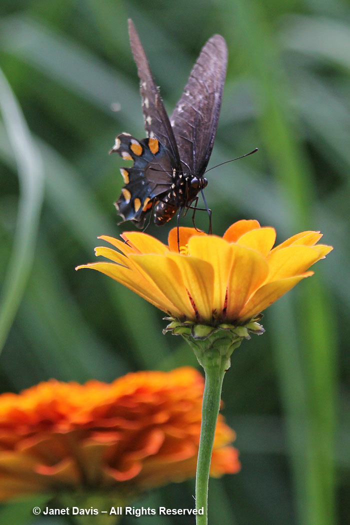 Pipevine swallowtail on Zinnia-Ripley Garden