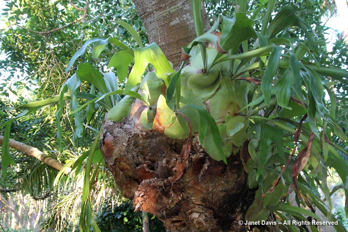 Platycerius bifurcatus-Marie Selby Botanical Gardens