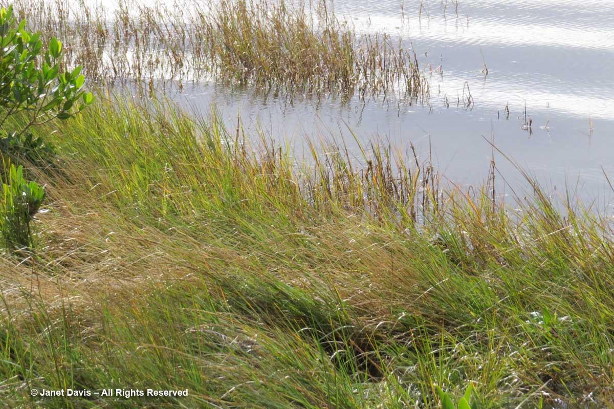 Spartina alterniflora-Saltmarsh cordgrass-Marie Selby Botanical Gardens