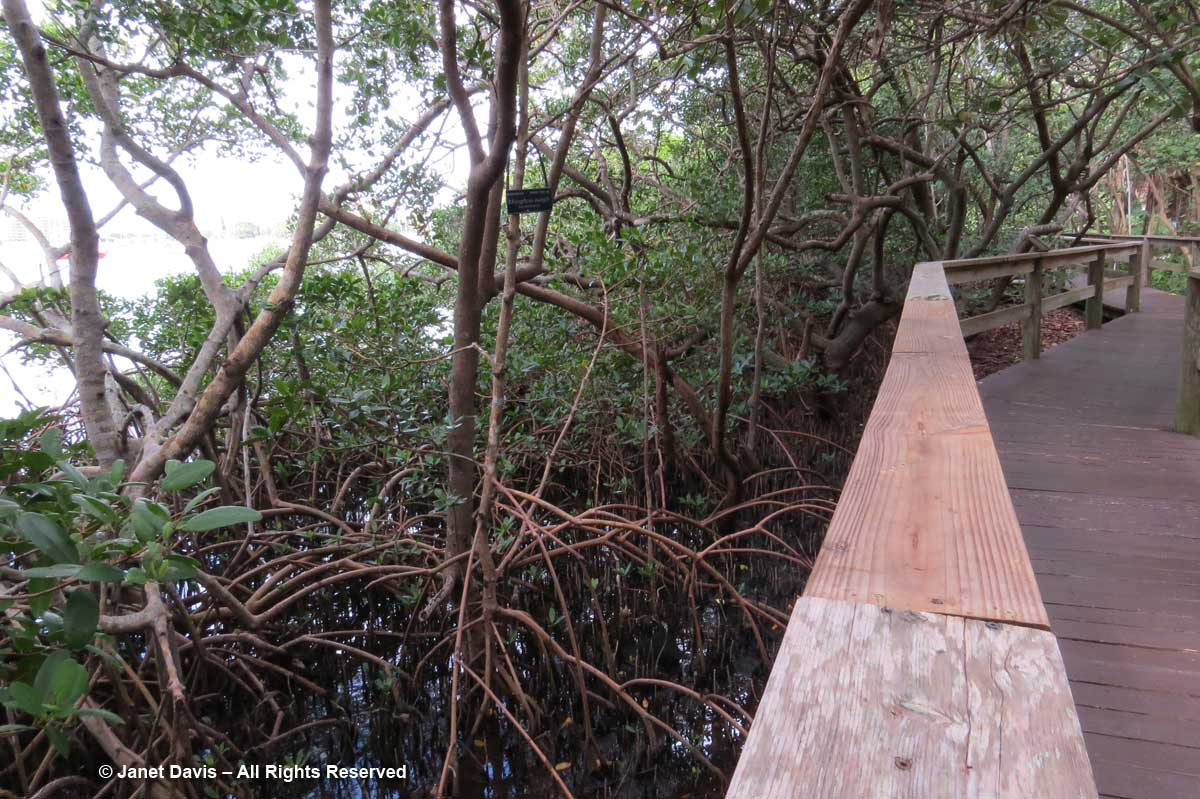 Steinwachs Mangrove Walkway-Marie Selby Botanical Gardens