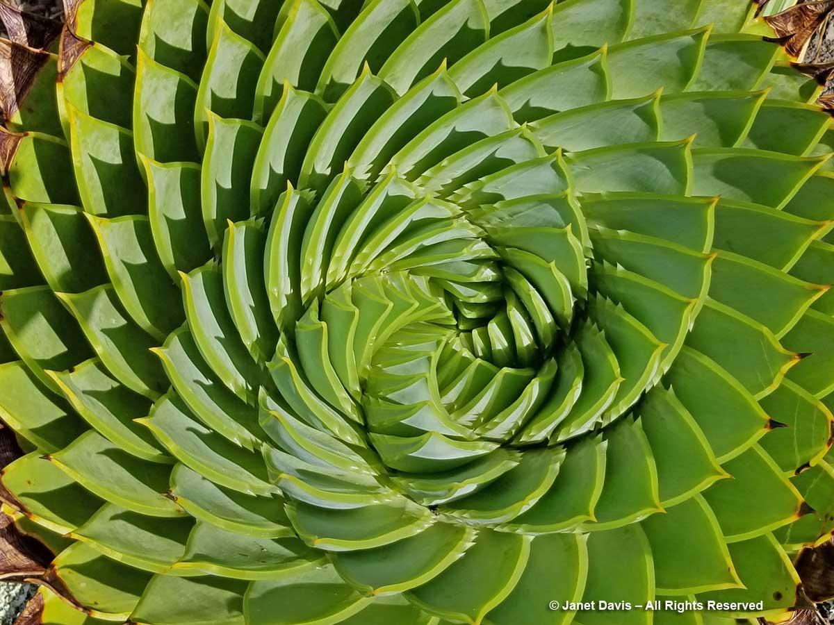 Aloe polyphylla-spiral aloe