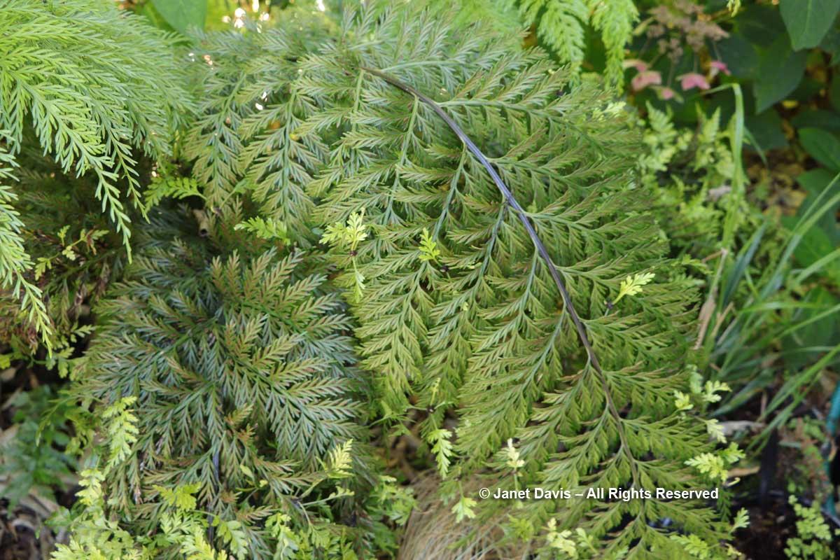 Asplenium bulbiferum-Mother spleenwort-Hen-and-chicken fern