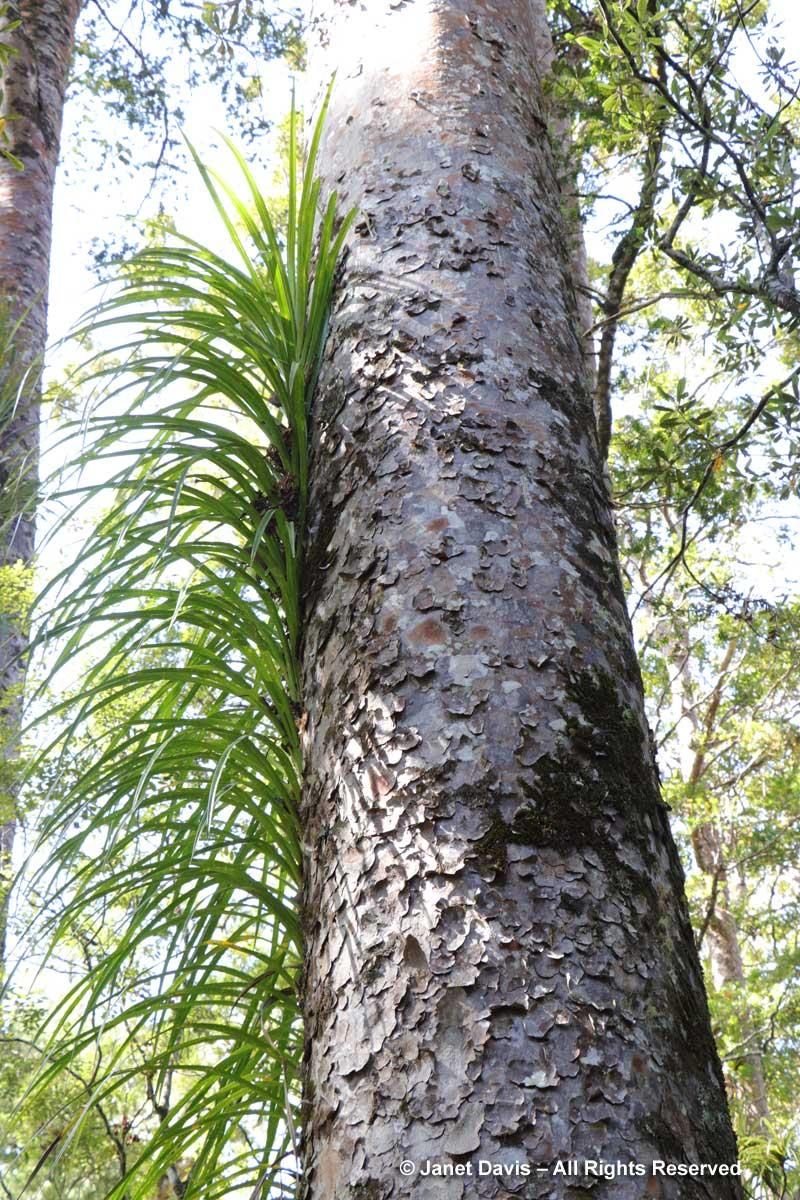 Astelia solandri-Perching lily on kauri-Kowharawhara-Puketi-Manginangina