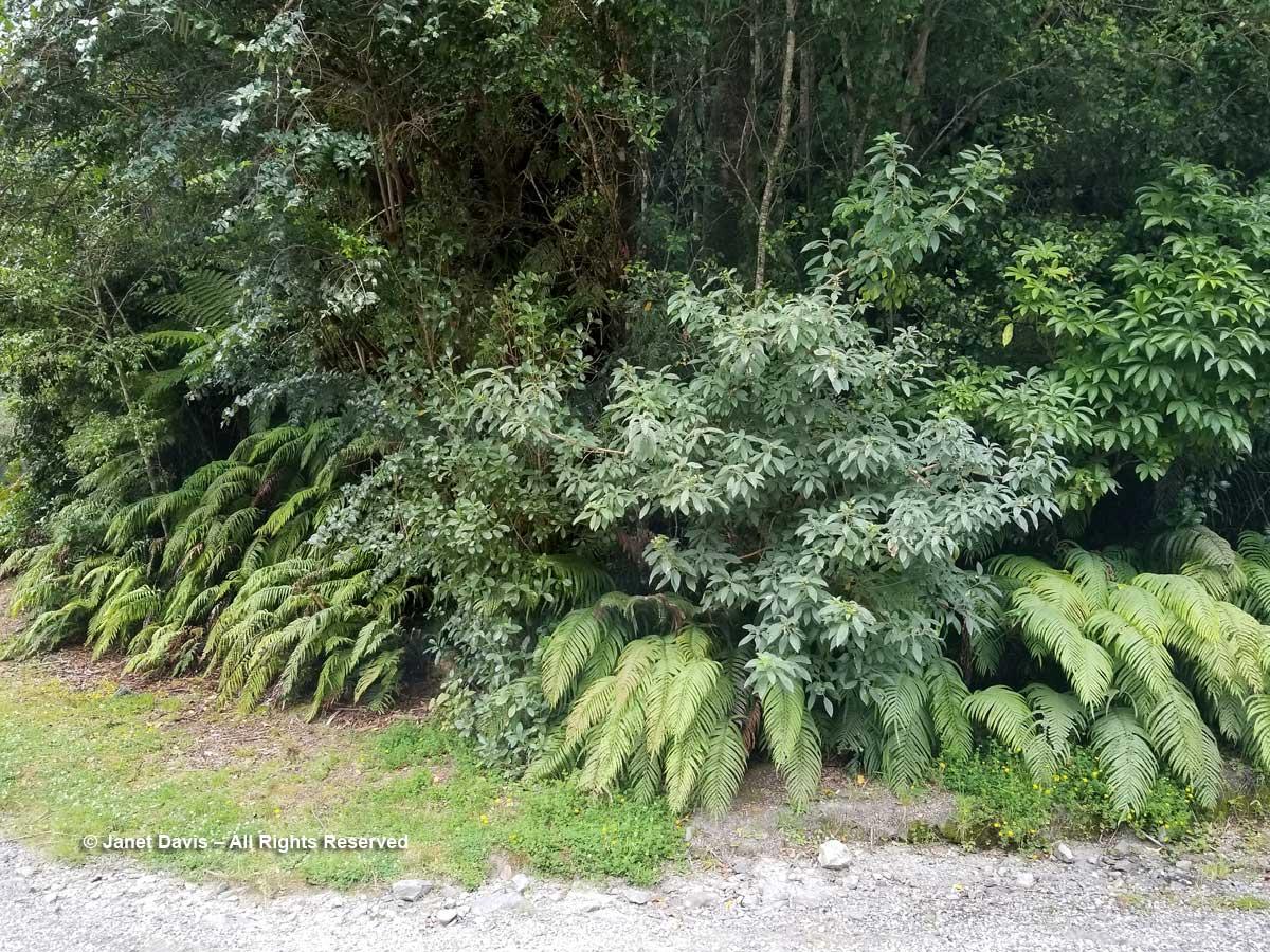 Blechnum discolor-Crown fern-Wilmot Pass
