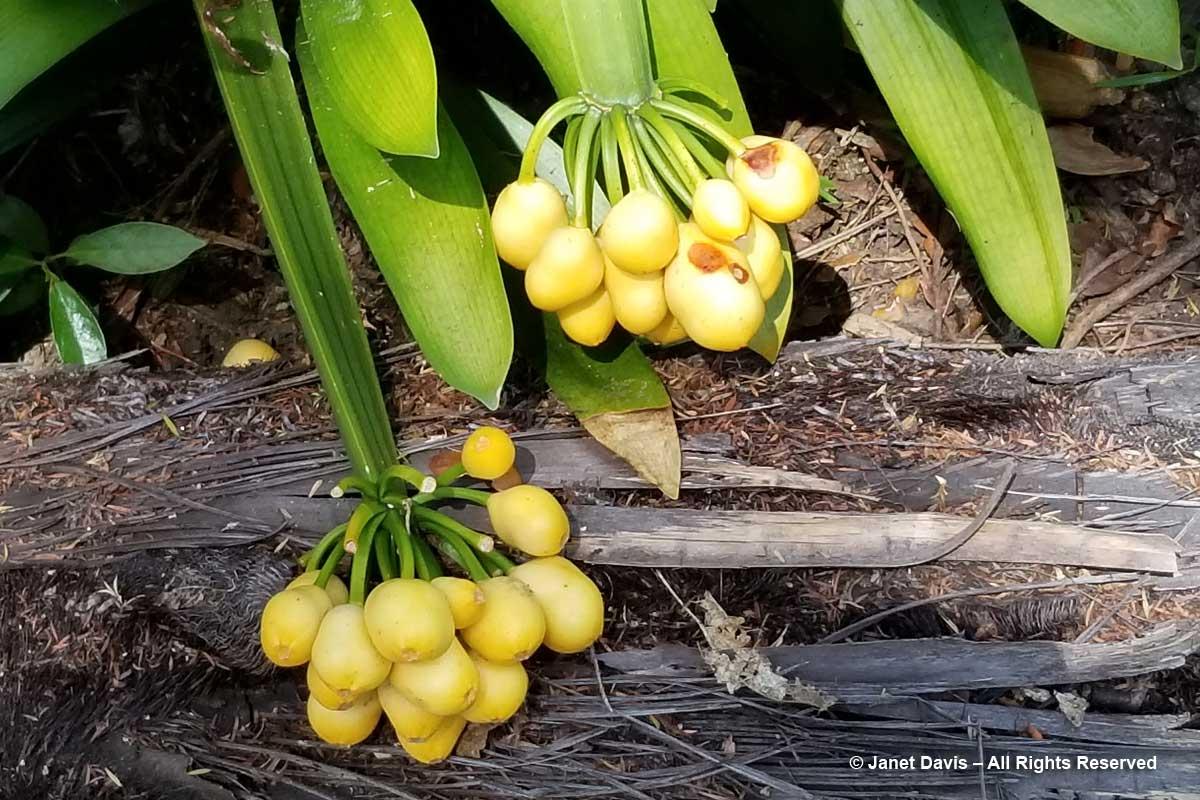 Clivia fruit-Omaio