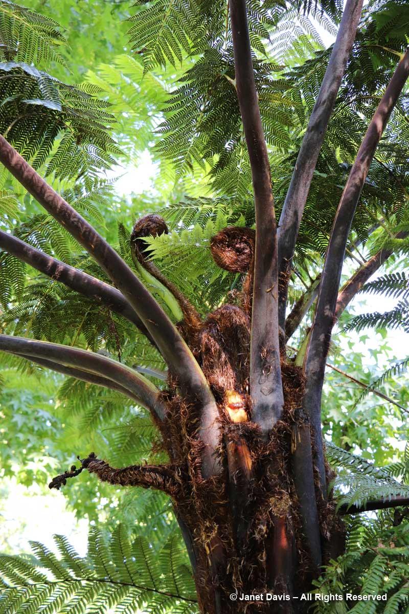 Cyathea-medullaris-black tree fern