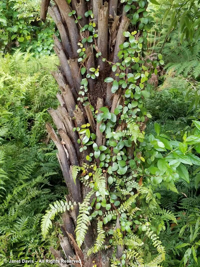 Epiphytes on tree fern-Otari-Wilton's Bush