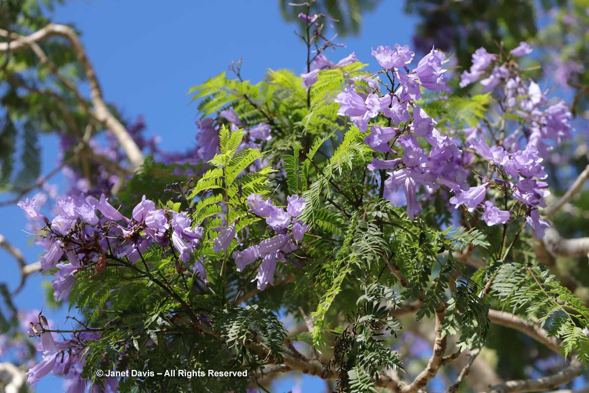 Jacaranda tree-Kerikeri Mission