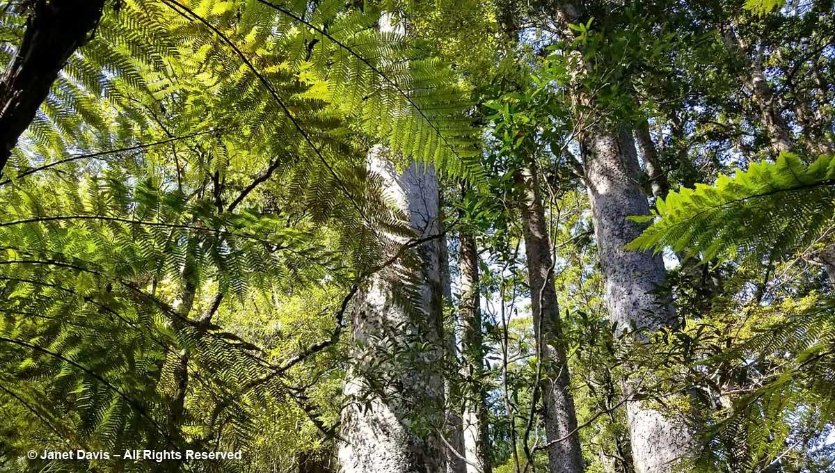 Kauri & tree fern- Puketi Forest-Bay of Islands-Manginangina Walk