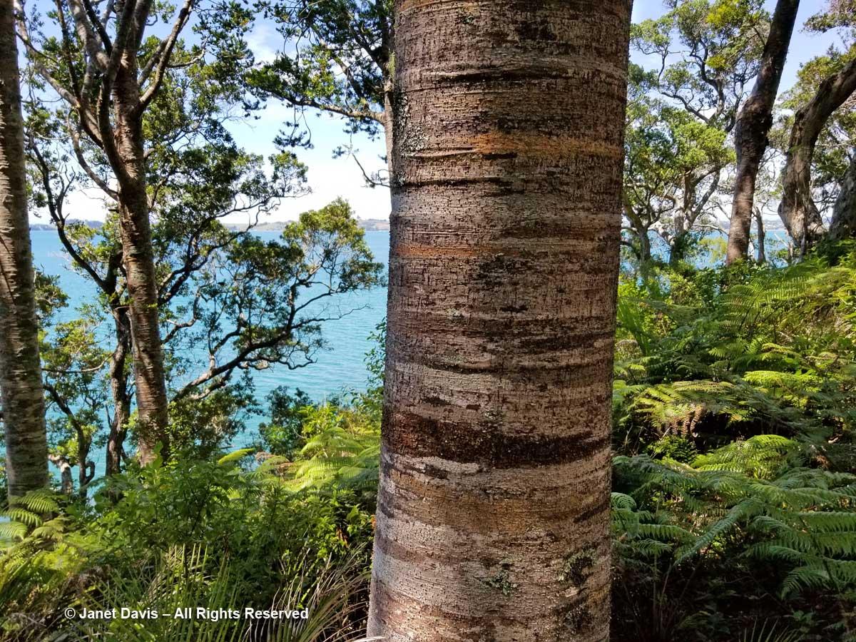 Kauri trunk-Agathis australis-Omaio