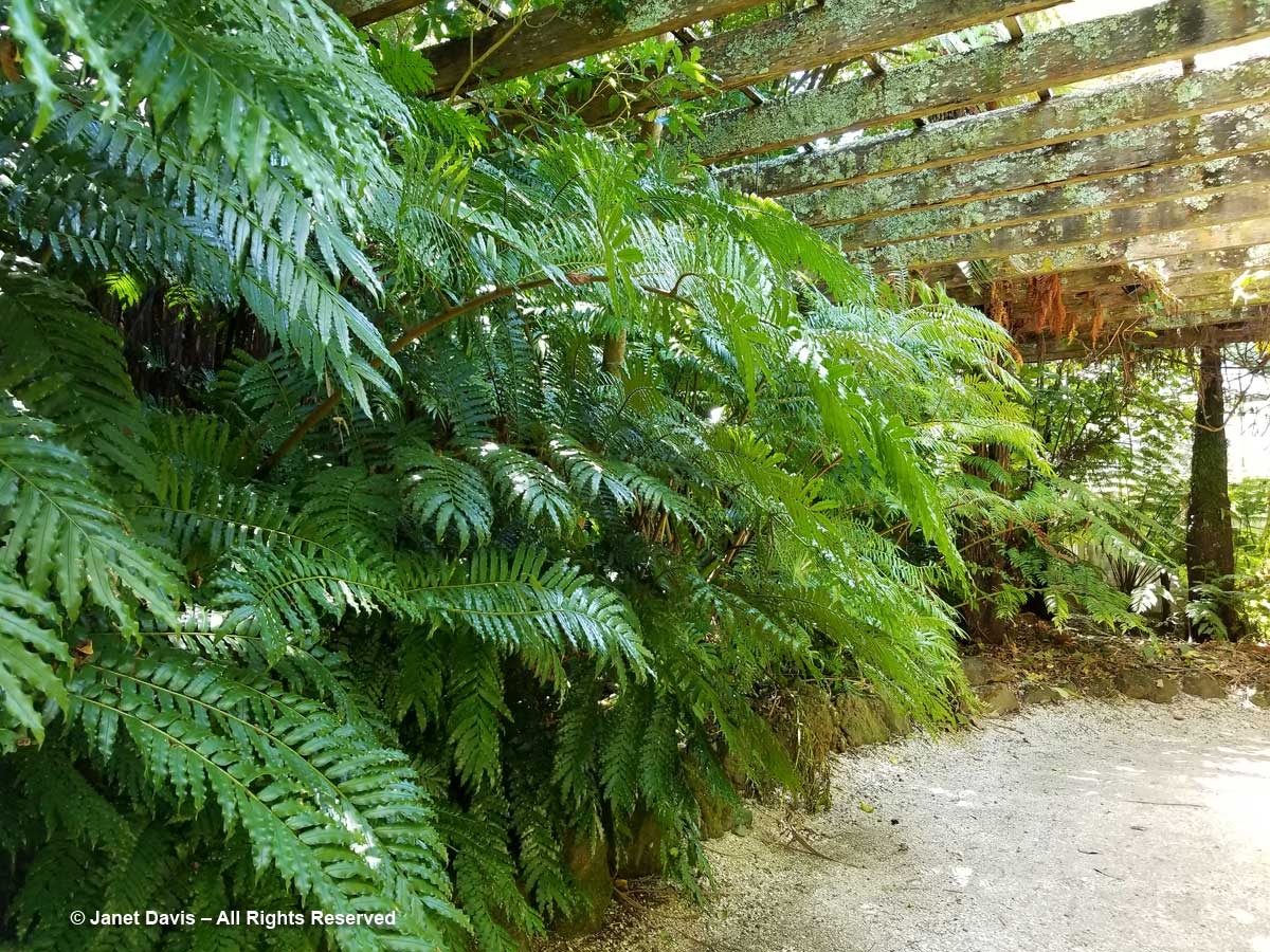 King fern-Ptisana salicina-Fernz Fernery-Auckland Domain