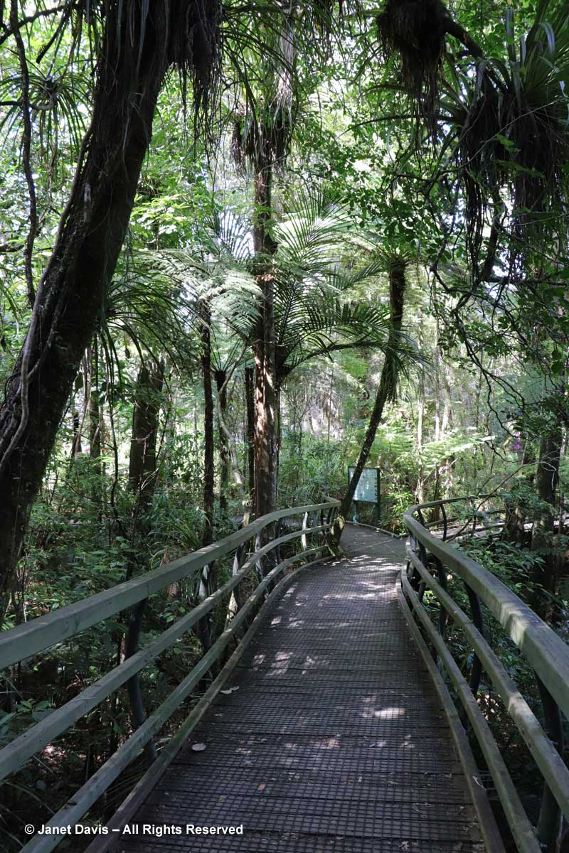 Manginangina Walk-Boardwalk-Puketi Forest-Northland