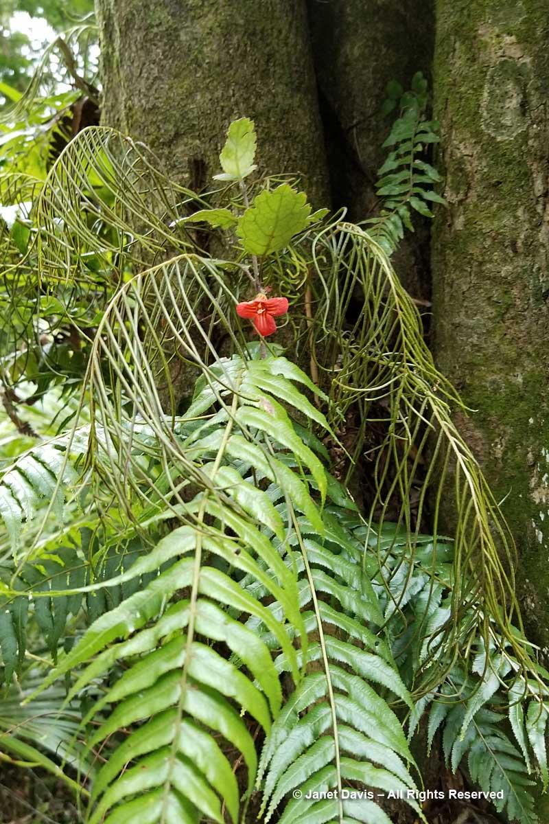 Otari-New Zealand-Gloxinia & Blechnum filiforme