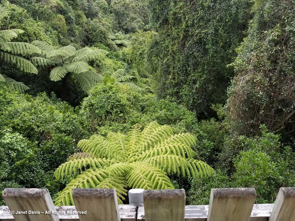 Otari-Wilton's Bush-Silver fern from boardwalk-Cyathea dealbata