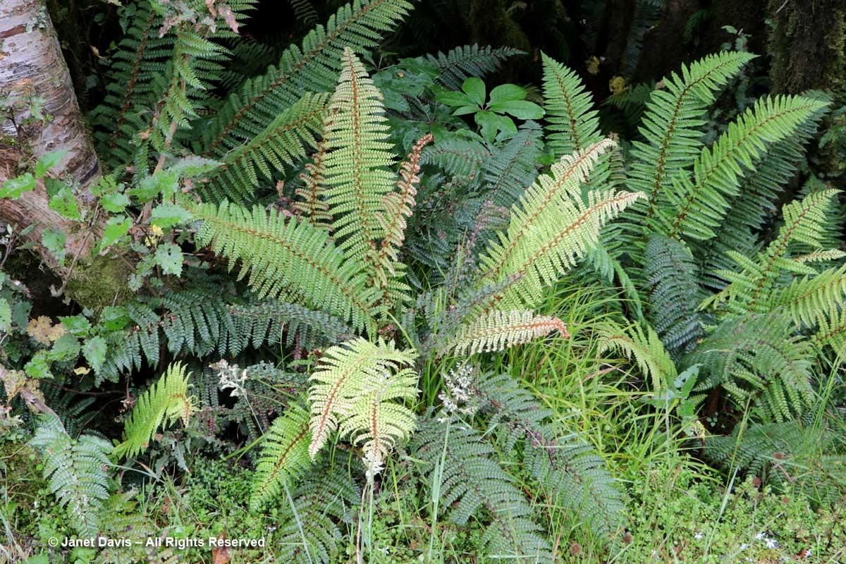 Polystichum vestitum-Wilmot Pass-Fiordland