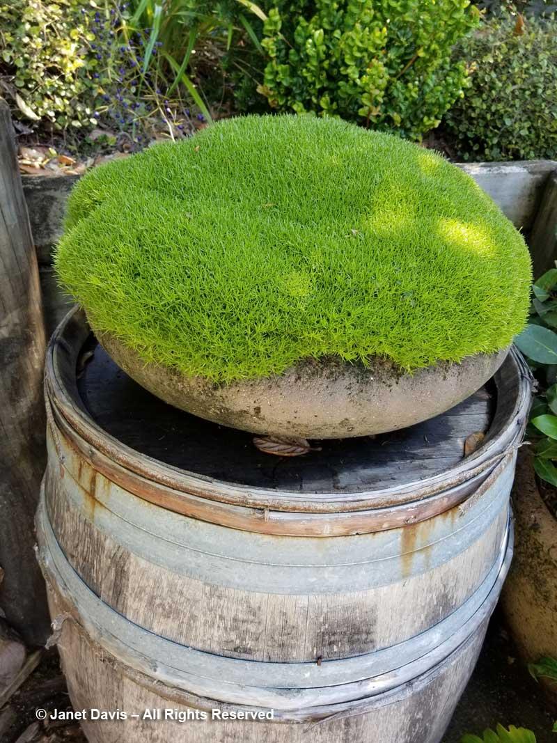 Scleranthus moss cushion-Omaio