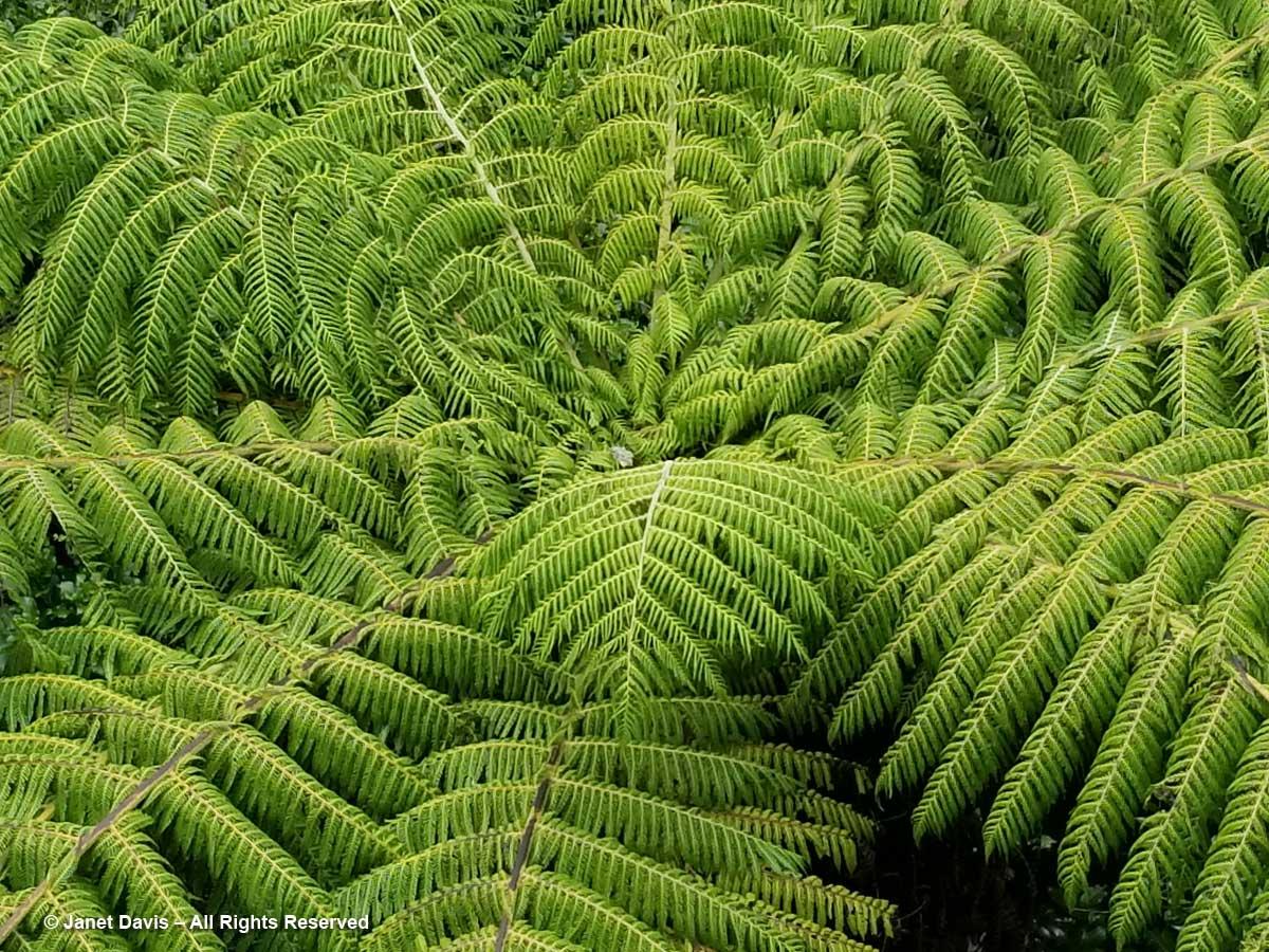 Silver fern-Cyathea dealbata
