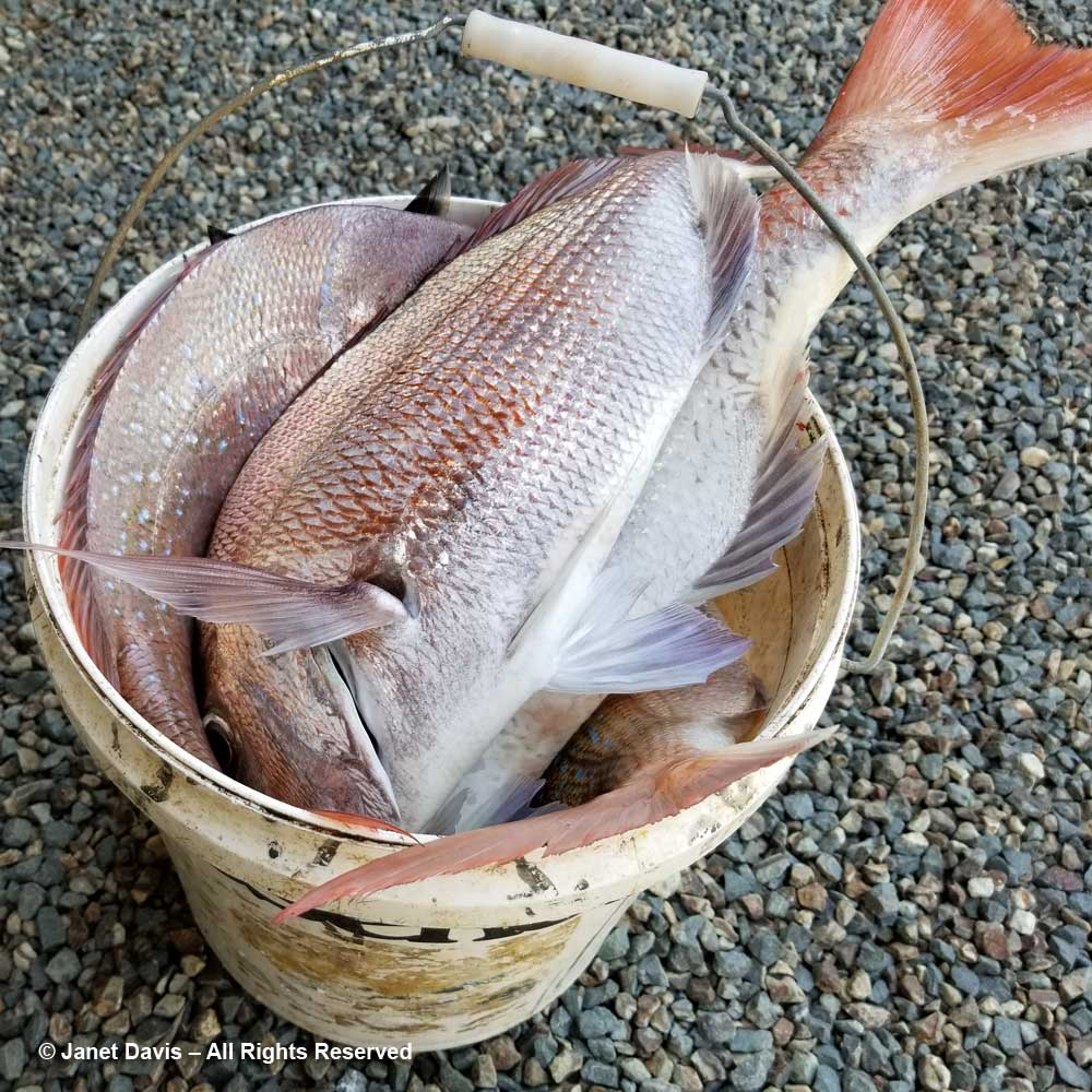 Snapper-Pink seabream-Omaio