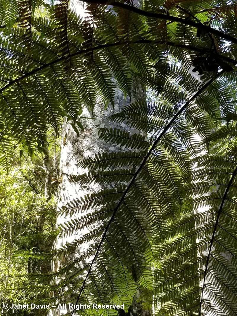 Tree fern-Puketi forest-Bay of Islands